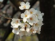 cerisiers-2.1205773760.jpg