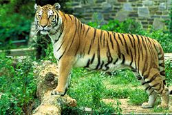 tigre.1208104414.jpg