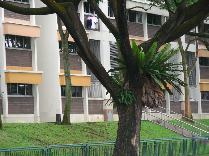 fougere-arbre-singapour.1228994149.jpg